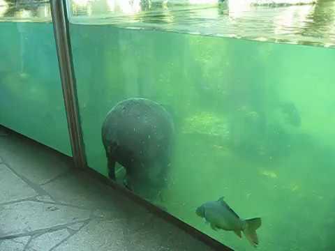 knackige Nilpferd Popos Rhino poo Hippo pooing underwater dicker Arsch Durchfall im Pool.mov