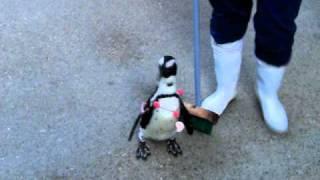 好奇心旺盛なケープペンギンの女の子。他のペンギンは嫌がるデッキプラシをものともせず行きたい所へ勝手に行こうとする困ったちゃん。人気...