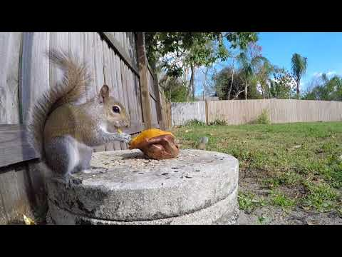 Eastern Gray Squirrel | Eastern Gray Squirrels eating close up compilation