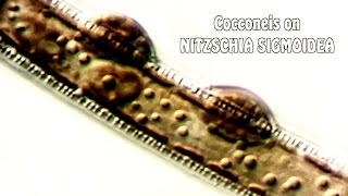 Cocconeis on Nitzschia sygmoidea