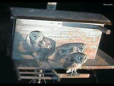Barn Owl Live Cam Chula Vista, California Wildlife ''Playing Outside Together'' ❣◕ ‿ ◕❣ 21/05/2017