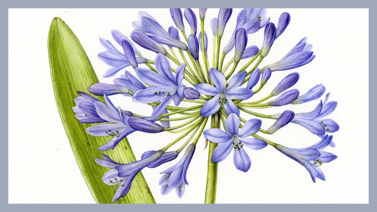 Agapanthus Foglie Gialle video tips how to paint flowers - botanical art & artists