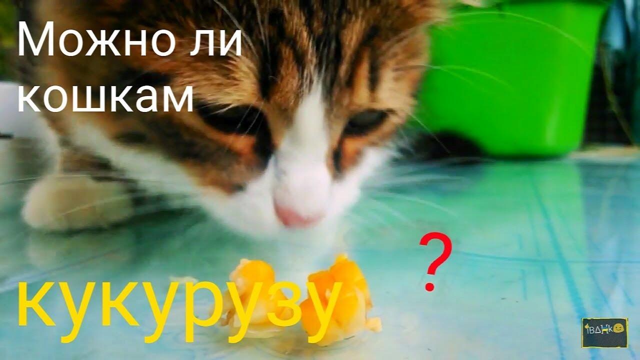 Можно ли котам давать вареную кукурузу