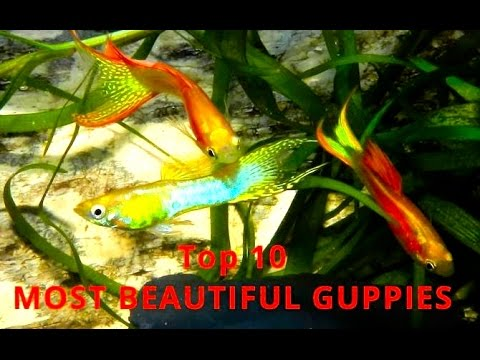 Top 10 - Guppies And Endler´s Guppy - THE MOST BEAUTIFUL VARIETIES, Aquarium, Fish Tank Video Film