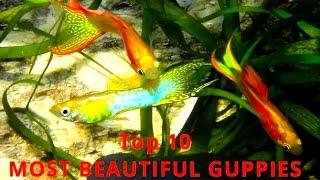 top 10 guppies and endler s guppy the most beautiful varieties aquarium fish tank video film