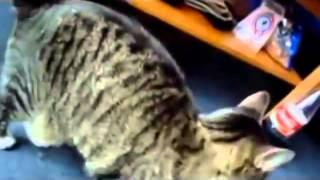Кошки приколы кошки разговаривают