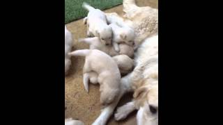 Golden Retriever X Labrador Puppies