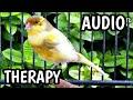 Ampuh Pancingan Suara Burung Kenari Macet Bunyi I Terapi Suara Burung Kenari I By Kicau Man  Mp3 - Mp4 Download