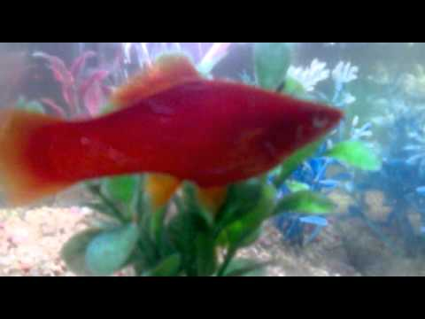 Is my molly fish pregnant youtube for Fish good for pregnancy