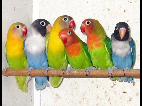 Love Birds pathy in different colors +923219442750 Zain Ali farming in Pakistan