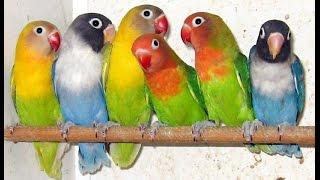 Olx Lahore Birds - YT