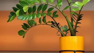 Долларовое дерево ЗАМИОКУЛЬКАС ❖❖❖ Растение, приносящее удачу. Уход и размножение