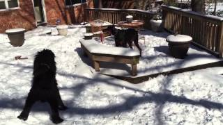 Doberman Fights Standard Poodle In The Snow