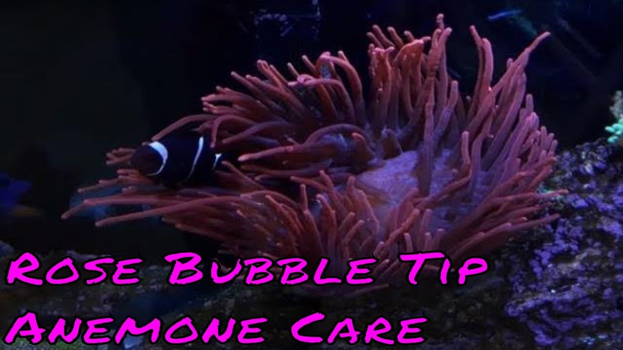 Ananomie Videos rose bubble tip anemone care guide