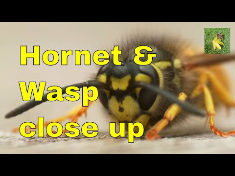 Wildlife profile - Wasp and Hornet identification comparison.