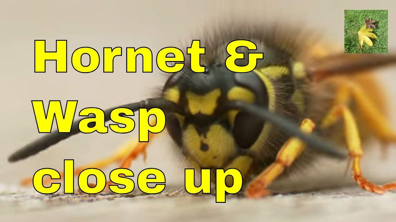 uk wildlife wasp and hornet identification comparison youtube
