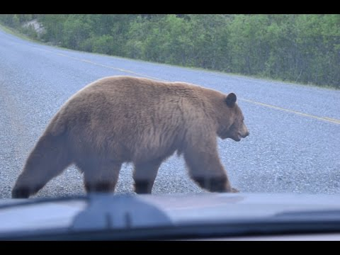 Road trip from Quebec to Alaska Wildlife sighting