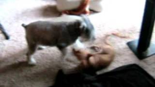 Schnauzer Versus Chihuahua - Duke And Dusty Mix It Up!