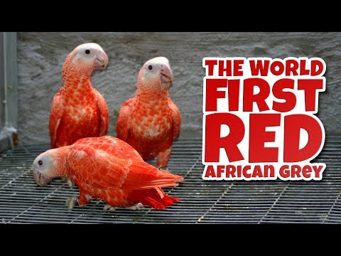 THE WORLD FIRST RED AFRICAN GREY PARROT