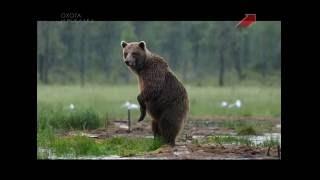 Весенняя охота на бурого медведя на приваде.