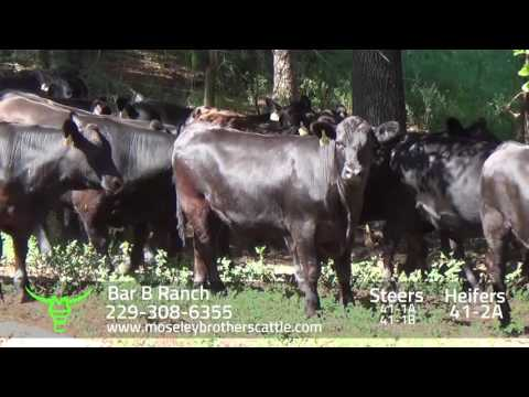 BAR B RANCH: GA SAFE Sale 8/9/16 - Moseley Brothers Cattle HD