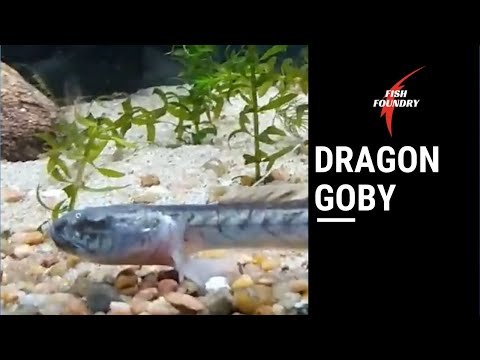 Dragon Goby Care Guide || Violet Goby || Dragon Fish Tips
