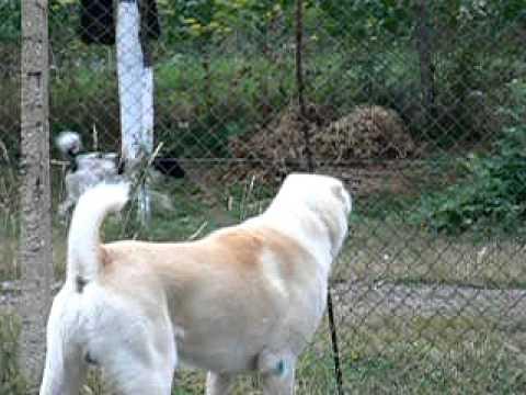 Romanovs Alabai Nogaj - Central asian shepherd dog - Ciobanesc de asia centrala