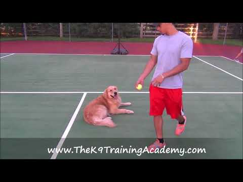 Bear a Golden Retriever with Advance Obedience - The K9 Training Academy