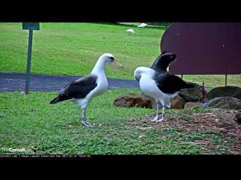 Laysan Albatross Courtship Dancing – Jan. 31, 2017
