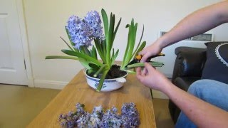 Hyacinth Care, After Flowering