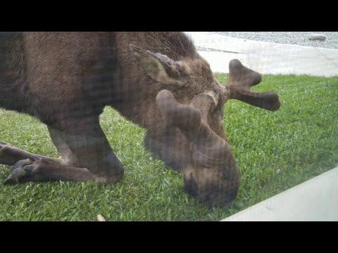 Lawn Mower Moose || ViralHog