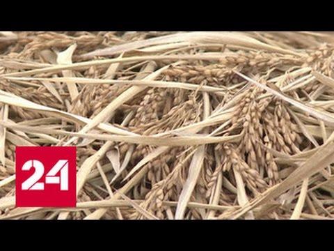 Кубанский рис: есть миллион тонн!