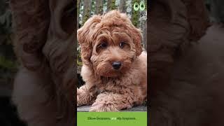 Australian Labradoodle  Dog Breed Guide | Petmoo | #Shorts