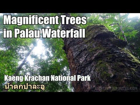 Magnificent Trees in Palau Waterfall น้ำตกป่าละอู