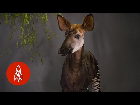 Thumbnail: The Only Relative of the Giraffe Looks Like a Zebra