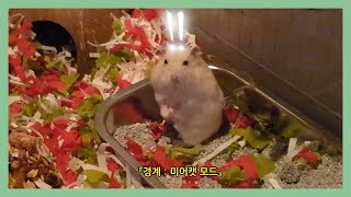 햄스터 콩이의 경계심 (feat. 엄크, 미어캣, 이사 후)