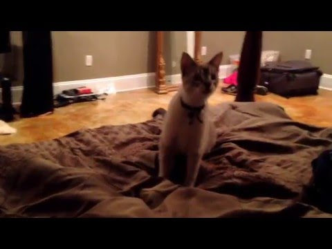 Link the siamese cat fetches onto the bed