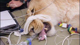 Musieli działać szybko zanim pacjent wybudzi się z narkozy [Weterynarze w krainie kangurów]