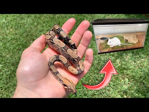 CATCHING BABY BOA'S In THE WILD