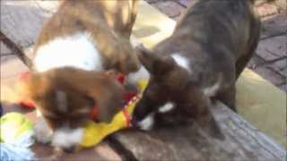 Cute Puppies Fighting Over Their Squeeky (cardigan Welsh Corgi's Fos And Ebo; 10 Weeks Old)