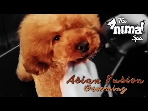 Full Groom - Toy Poodle