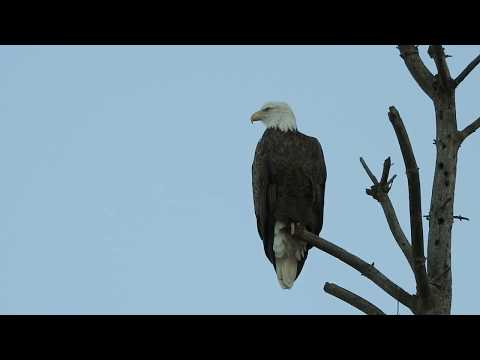 Bald Eagle watching activity around then takes flight.