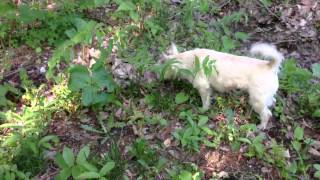 Man Eating Plant Almost Kills Cairn Terrier!