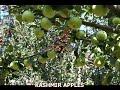 Kashmir Apple's