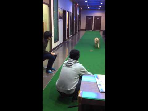 golden retriever play with golfball