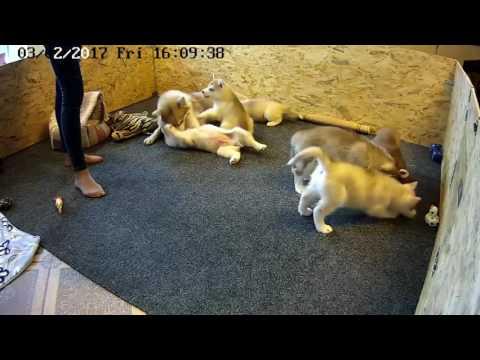 Щенки хаски кушают, играют с мамой. Щенки хаски онлайн. Husky puppy online. Всё будет Хаски!