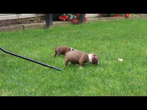 Boston Terrier Puppies For Sale Amos Fisher