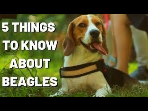 TOP 5 THINGS TO KNOW ABOUT BEAGLES