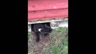 Staffordshire Bull Terrier Won't Come Out From Underneath The Shed ( Billy. Come On)