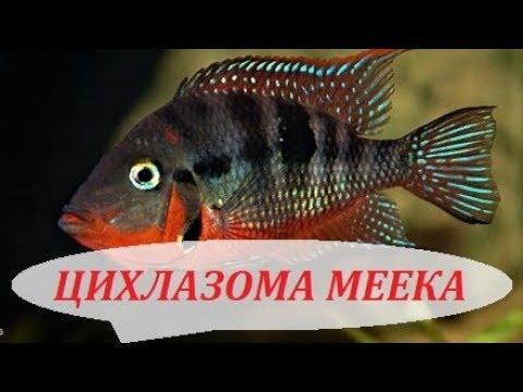 Цихлазома Меека в аквариуме, совместимость, содержание, разведение, кормление.
